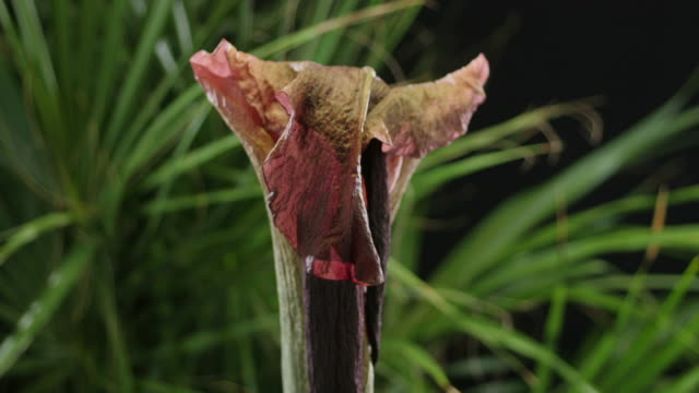 medium close up static _ an amorphophallus flower wilts - 枯れた植物点の映像素材/bロール