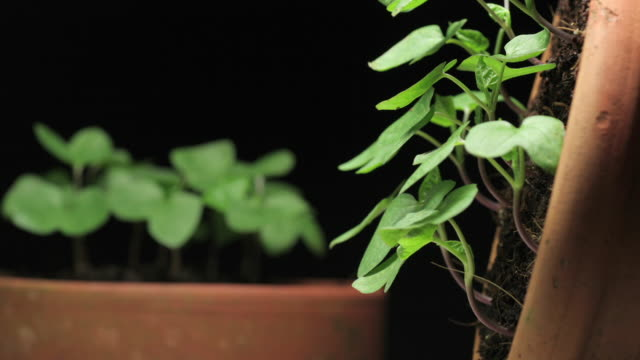 medium close up static _ morning glory plants grow out of pots - plant pot stock videos & royalty-free footage