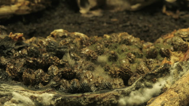 medium close up static _ the remains of a papaya mold and continue to decay - fungal mold stock videos & royalty-free footage