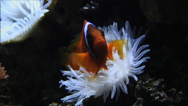 Medium Close Up static - A clownfish swims next to a sea anemone. / Australia