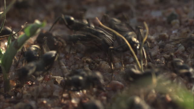 vidéos et rushes de medium close up static - a colony of ants scurries over pebbles. / south africa - medium group of animals