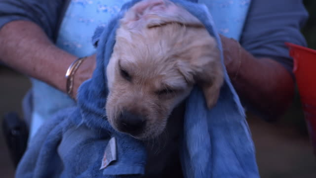medium close up static - a man towel-dries a puppy. - towel stock videos and b-roll footage