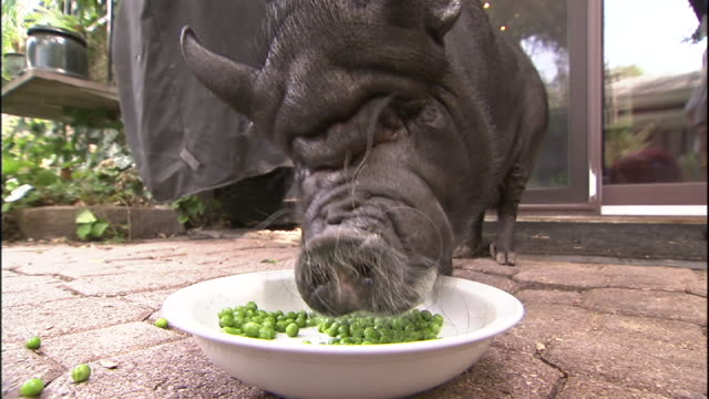 Medium Close Up static - A pot-bellied pig eats peas from a bowl.