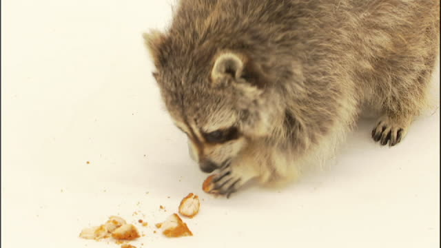 Medium Close Up static - A raccoon plays  with and washes bits of food.