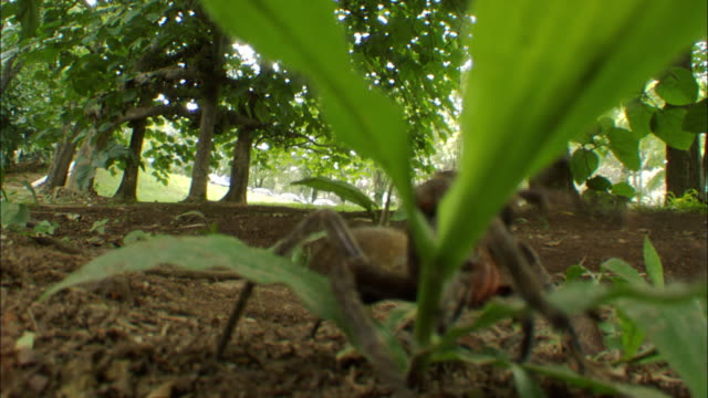 medium close up static - a spider creeps across a leafy plant. / brazil - gliedmaßen körperteile stock-videos und b-roll-filmmaterial