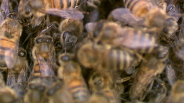 Medium Close Up static - Bees crawl over each other in a colony /