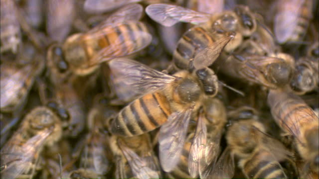 medium close up static - bees crawl over each other in a swarm /  - medium group of animals stock-videos und b-roll-filmmaterial