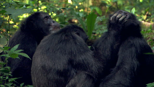 medium close up static - chimpanzees groom each other / uganda - putsa sig bildbanksvideor och videomaterial från bakom kulisserna