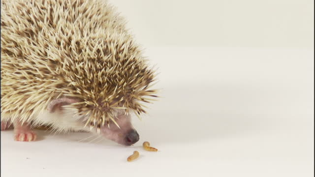 vídeos y material grabado en eventos de stock de medium close up static - worms crawl around a sniffing hedgehog. - cinco animales