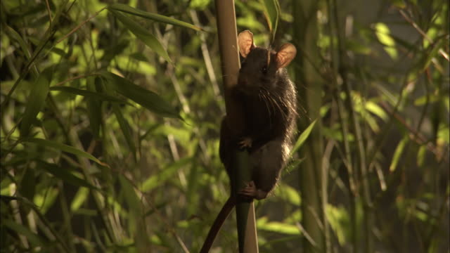 medium close up tilt down - rat climbs down bamboo plant / bangladesh - bamboo plant stock-videos und b-roll-filmmaterial