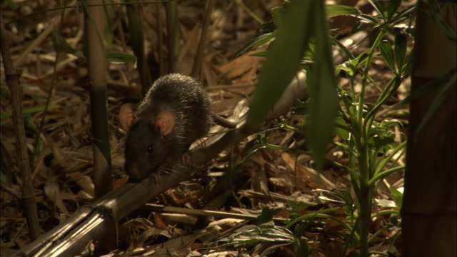 medium close up tilt down - rat walking on bamboo plant in forest / bangladesh - bamboo plant stock-videos und b-roll-filmmaterial