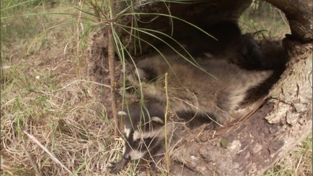 vídeos de stock, filmes e b-roll de medium close up tilt down - two raccoon kits play in hollowed log /  - grupo pequeno de animais