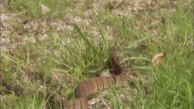 medium close up tilt up - tilt up from snake slithering in grass to red tricycle in front lawn of house /  - snake stock videos & royalty-free footage
