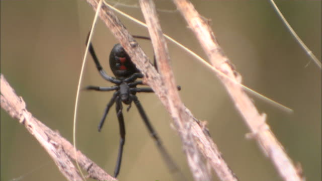 medium close up tilt-down - a black widow spider crawls around its egg sac / albuquerque, new mexico, usa - black widow spider stock videos & royalty-free footage
