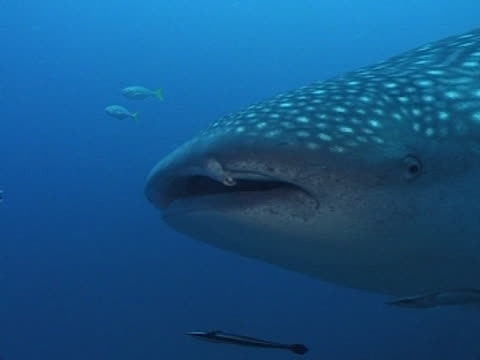 stockvideo's en b-roll-footage met medium close up to close up whale shark's head as swims to camera then right to left past camera, with remoras - doornhaai