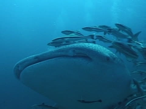 Medium close up to close up Whale shark's head as swims to camera, then right to left away, with remoras