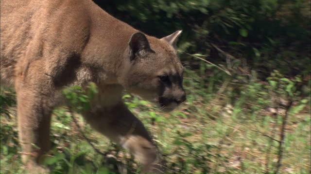 vídeos y material grabado en eventos de stock de medium close up tracking-right - a mountain lion moves through a forest clearing / united states - puma