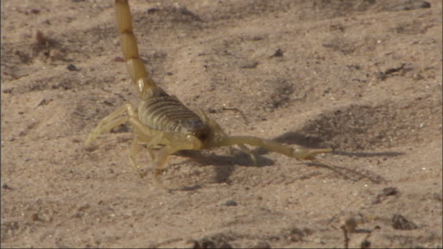 medium close up, tracking-right - a scorpion crawls across a sandy desert floor / egypt - scorpion stock videos & royalty-free footage