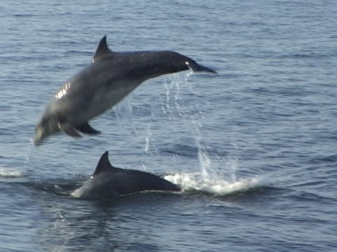 Medium close up two Bottlenose Dolphins nice clear jump out of water