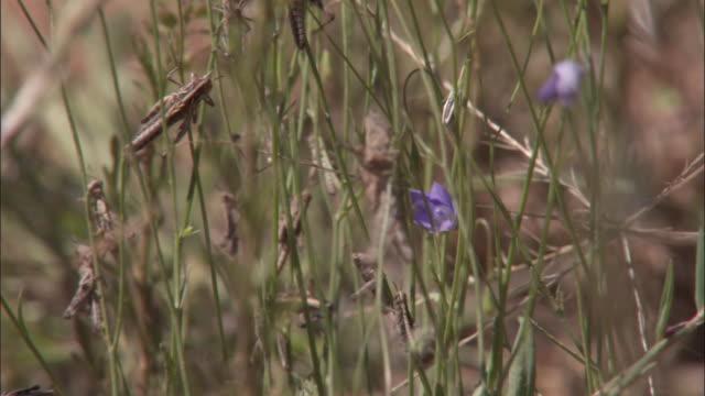 Medium Close Up - Two locusts fighting on a plant stalk / Australia