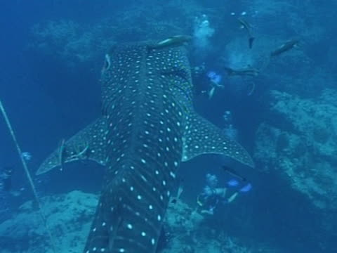 Medium close up Whale shark filmed from above as swims away from camera, with remoras & divers in frame