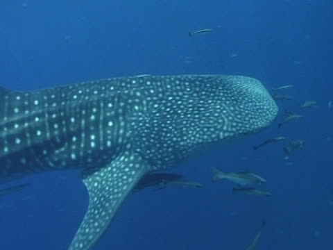 medium close up whale shark filmed from above as swims left to right by camera with remoras passing a diver in water watching - wildlife tracking tag stock videos and b-roll footage