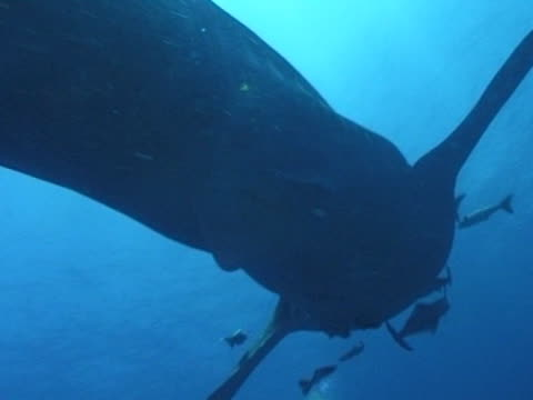 Medium close up Whale shark filmed from below as swims away from camera, with remoras