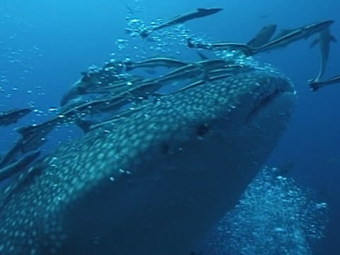 medium close up whale shark filmed from side as swims left to right, then from ahead close up with mouth towards camera , with remoras& divers bubbles - gill stock videos & royalty-free footage