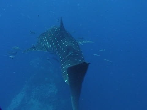 medium close up whale shark filmed from tail as swims away from camera, with remoras - gill stock videos & royalty-free footage