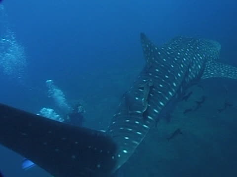 stockvideo's en b-roll-footage met medium close up whale shark filmed from tail as swims away from camera, with remoras& divers - doornhaai