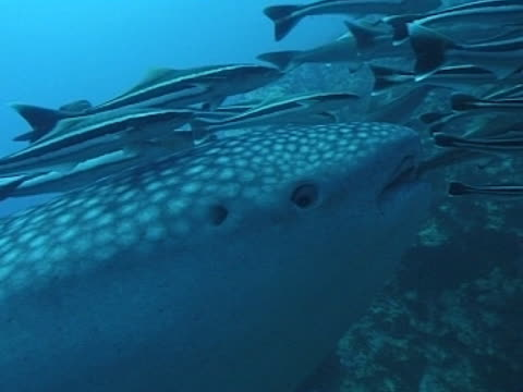 medium close up whale shark head and eye swims left to right with remoras - gill stock videos & royalty-free footage