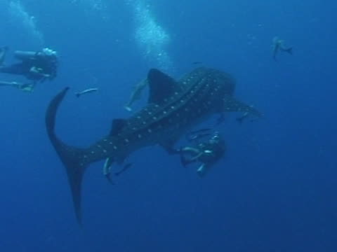 stockvideo's en b-roll-footage met medium close up whale shark swims away from camera, with remoras, see two divers alongside and one underneath - doornhaai