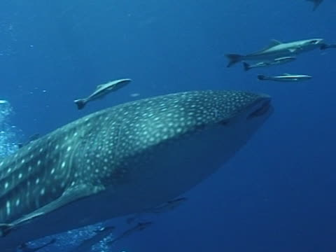Medium close up Whale shark swims Left to right alongside camera, with remoras see bubbles from divers