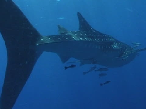 Medium close up Whale shark swims left to right alongside camera, with remoras
