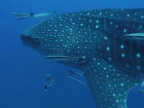 Medium close up Whale shark swims right to left of camera, with remoras