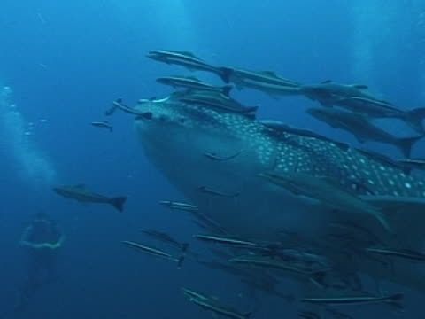 Medium close up Whale shark swims towards camera then turns away to right with fish/wrasse & diver