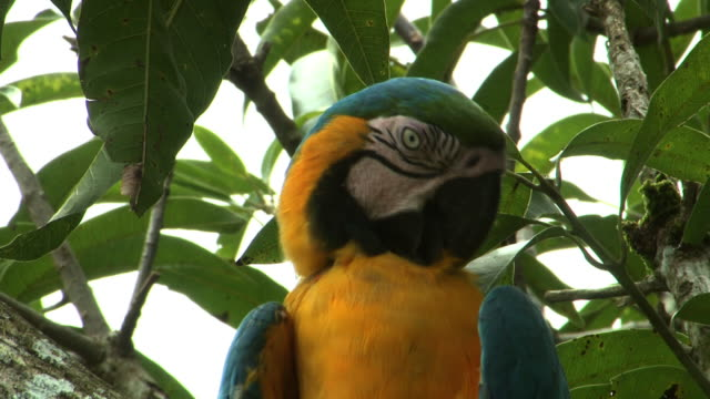 medium close up zoom-out - a blue and yellow macaw grooms its feathers in a leafy tree. / sao paulo, brazil - becco video stock e b–roll