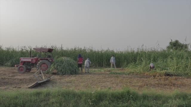 medium distance shot captures four farmers helping each other harvest and load wheat crops onto the back of a tractor in punjab india - punjab india stock videos and b-roll footage