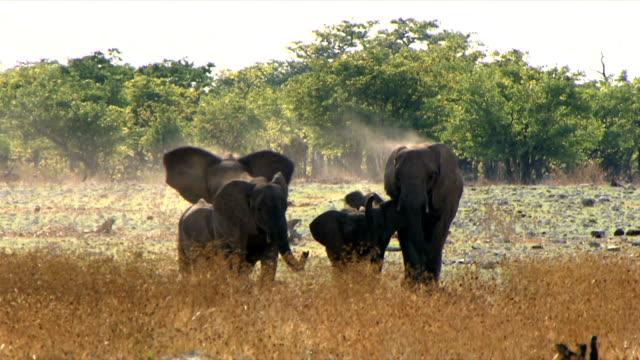 medium group of elephants walking towards the camera/ etosha national park/ south africa - medium group of animals点の映像素材/bロール