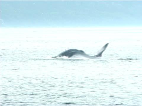 medium ws group of fin whales surfacing near shore (2006). st lawrence, canada. - nordatlantik stock-videos und b-roll-filmmaterial