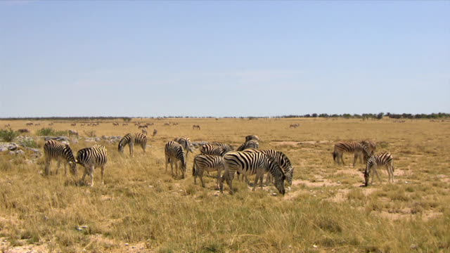 A medium group of zebras eating grass/ Entabeni Private Game Reserve/ South Africa