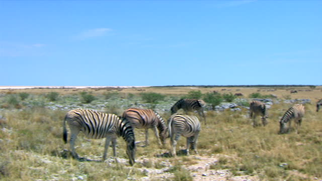 a medium group of zebras eating grass/ entabeni private game reserve/ south africa - medium group of animals点の映像素材/bロール