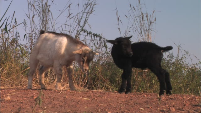 Medium hand-held - A female goat and her young kid playfully butt heads. / Benin