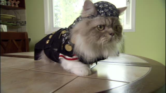 vídeos de stock e filmes b-roll de medium hand-held - a napoleon cat wears a biker costume and a do-rag. - domesticado