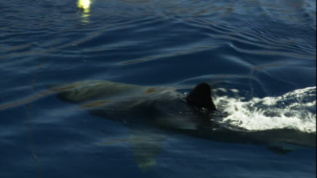 Medium hand-held - A shark swims at the surface of the water and snags a rope and small buoy.