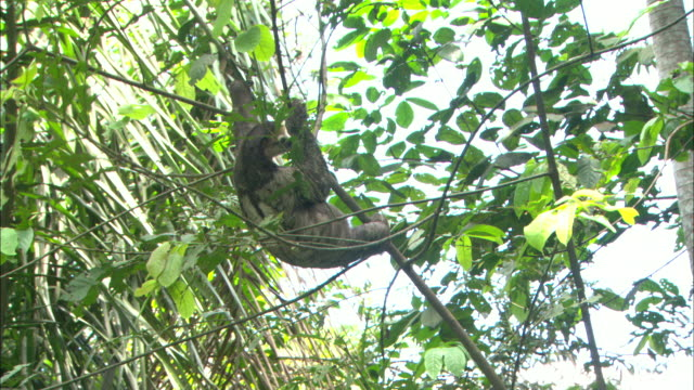 medium hand-held - a sloth hangs from a tree branch and sleeps while the tree slowly bends / manaus, brazil - 怠惰点の映像素材/bロール