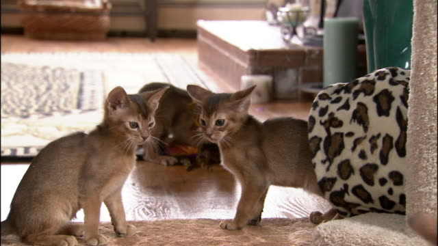 Medium hand-held - Abyssinian kittens play with toys.
