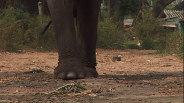 medium hand-held - an elephant walks along a dirt path. / thailand - gliedmaßen körperteile stock-videos und b-roll-filmmaterial