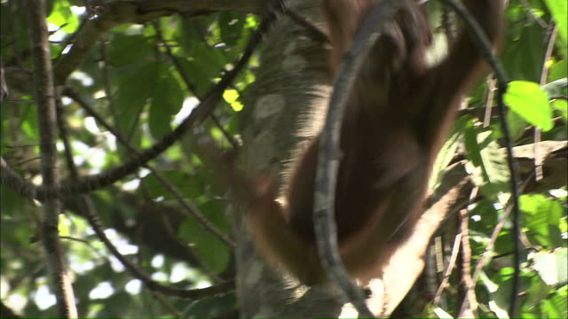 Medium hand-held - An orangutan swings in a tree / Borneo, Indonesia