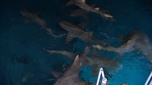 medium hand-held - lemon sharks swim in blue water, eat bait. / bahamas - flock havslevande däggdjur bildbanksvideor och videomaterial från bakom kulisserna